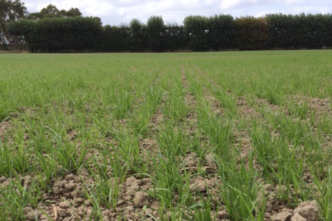 Best ryegrass seeds